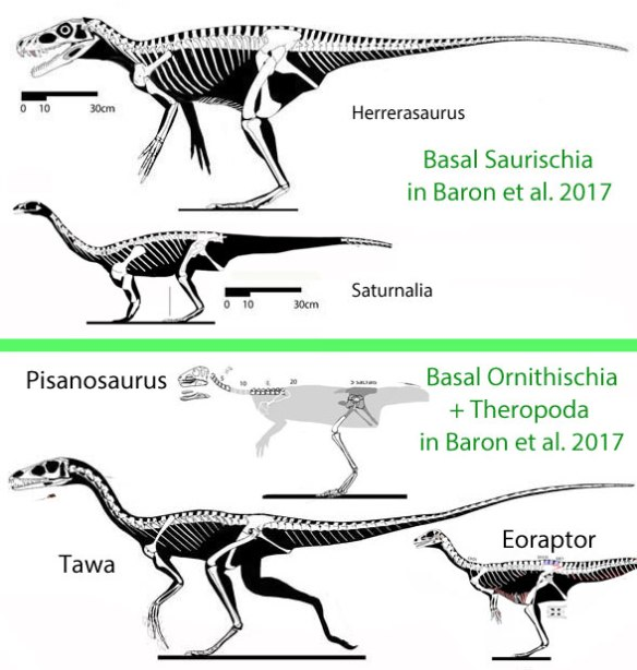 Figure 1. According to Baron et al. 2017 these taxa are related in this fashion.