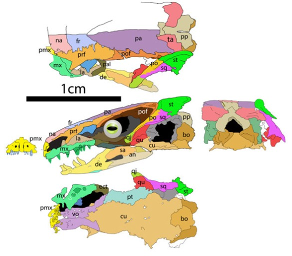 Figure 2. The skull of Brachydectes revised. Like Eocaecilia, the squamosal and quadratojugal are missing.