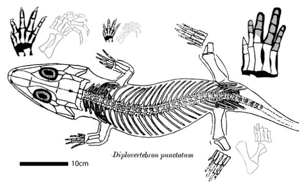 Figure 1. Diplovertebron nests at the base of the lineage of amphibians, close to the base of the reptiles, all derived from seymouriamorphs. Note the retention of five fingers. Wish I had better data than this.