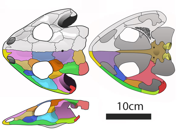 Figure 2. Dissorophus nests with Stegops among basal lepospondyls in the LRT.
