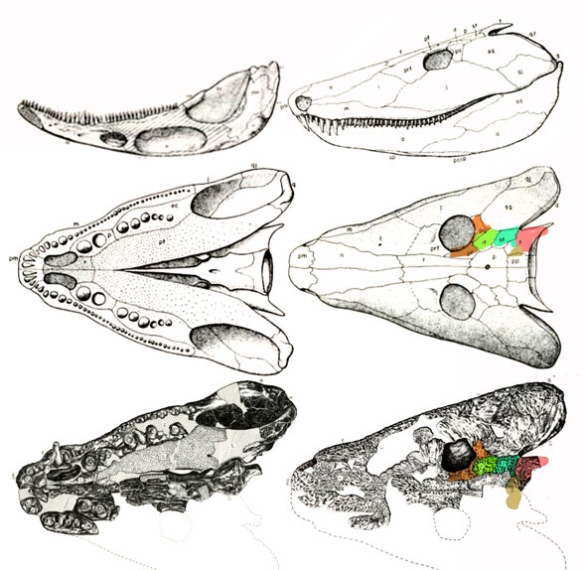 Figure 3. Neopteroplax has a skull quite similar to the older single skull of Anthracosaurus and they nest together in the LRT.