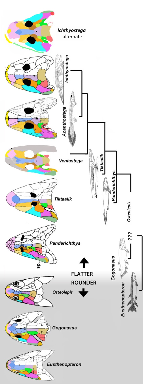 Figure 2. Basal tetrapod skulls in dorsal view.