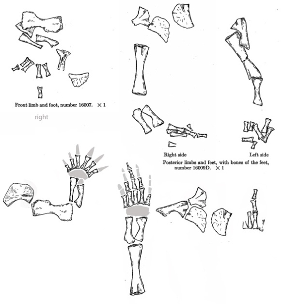 Figure 2. Trimerorhachis forelimb and hind limb in situ and reconstructed.