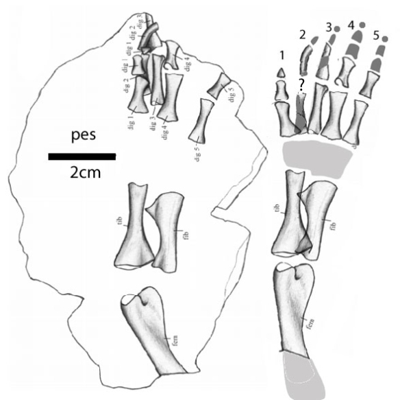 Figure 3. Trimerorhachis hind limb and pes from Pawley 1979.