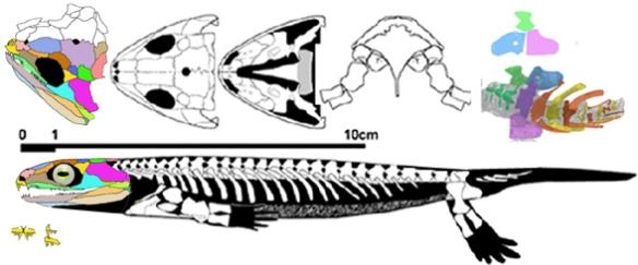 Figure 2. Utegenia nests as a sister to Diplovertebron.