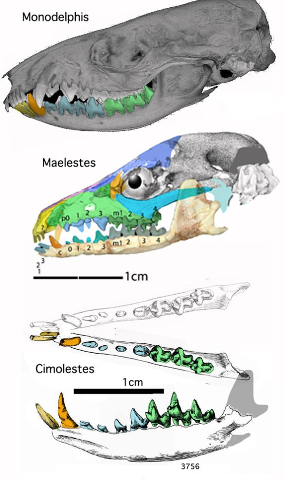 Figure 1. Cimolestes mandible from Lillegraven 1969 compared to a phylogenetically basal eutherian the marsupial without a pouch, Monodelphis, the basal tenrec, Maelestes and Cimolestes. All have a slender mandible.