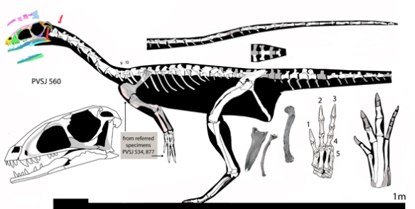 Figure 1. Eodromaeus reconstructed. We will look at this taxon in more detail tomorrow.