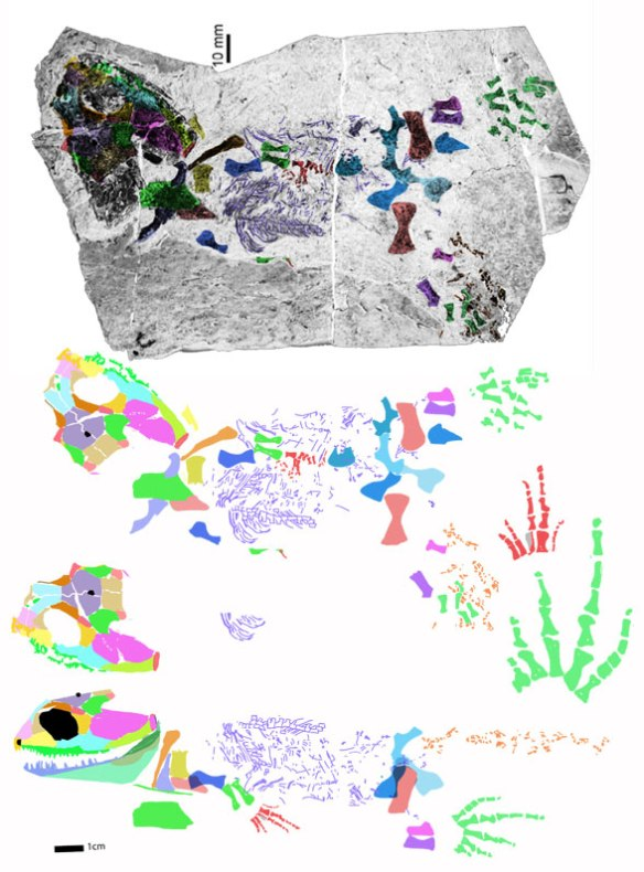 Figure 4. Eucritta in situ and reconstructed. Note the large pes in green.