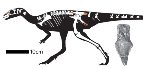 Figure 1. Laquintasaura and tooth from Barrett et al. 2014. The early and plesiomorphic ornithischian has a naris shifted dorsally and other traits that nest it between the base of the onithopoda (Changchunsaurus) and the base of the ceratopidae (Hexinlusaurus).