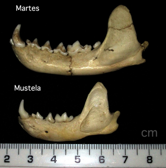 Figure 2. Martes, the extant martin, and Mustela, the extant mink or polecat mandibles. Both are deeper in front, more like the taeniodont, Stylinodon.