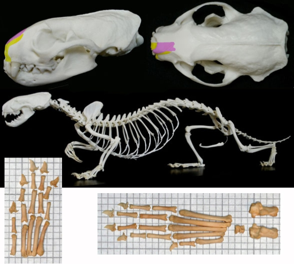 Figure 2. Mustela the European mink is an extant relative to Stylinodon.