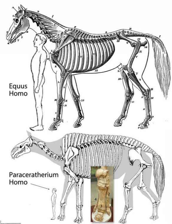 Figure 1. Equus the horse shares many traits with Paraceratherium, the giant rhino/horse.