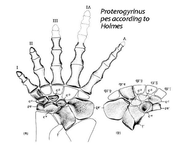 Figure 2. Proterogyrinus pes according to Holmes.