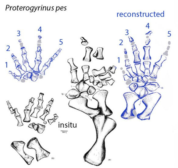 Figure 3. Proterogyrinus pedes in situ (black) and restored (blue).