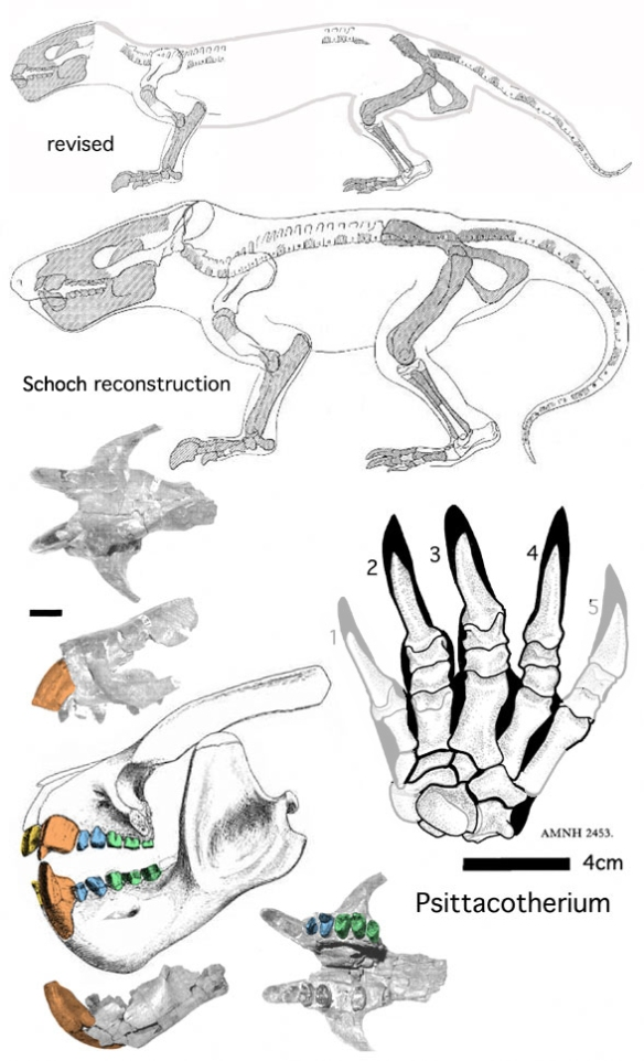 Figure 7. Psittacotherium in various views.