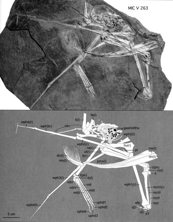 FIgure 2. Pterodaustro specimen MIC V263 in situ and as originally traced.