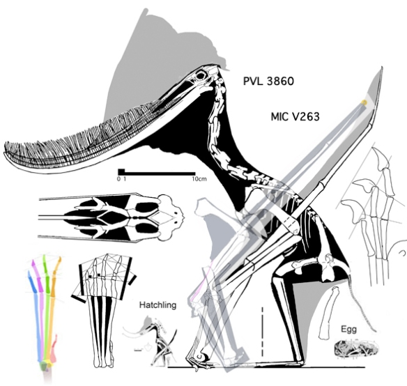 Figure 8. Elements of the MIC V263 specimen applied to the smaller PPVL 3860 specimen scaled to the length of the metacarpals. At this scale the large Pterodaustro had a shorter wing and shorter fingers with smaller unguals.