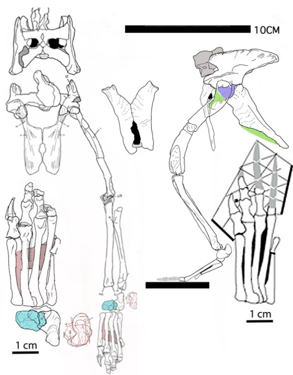 Figure 6. The closest known taxa to the Dinosauria, PVL 4597, is a tiny taxon (phylogenetic miniaturization) with erect hind limbs, a large and deep pelvis and a tiny calcaneal tuber.