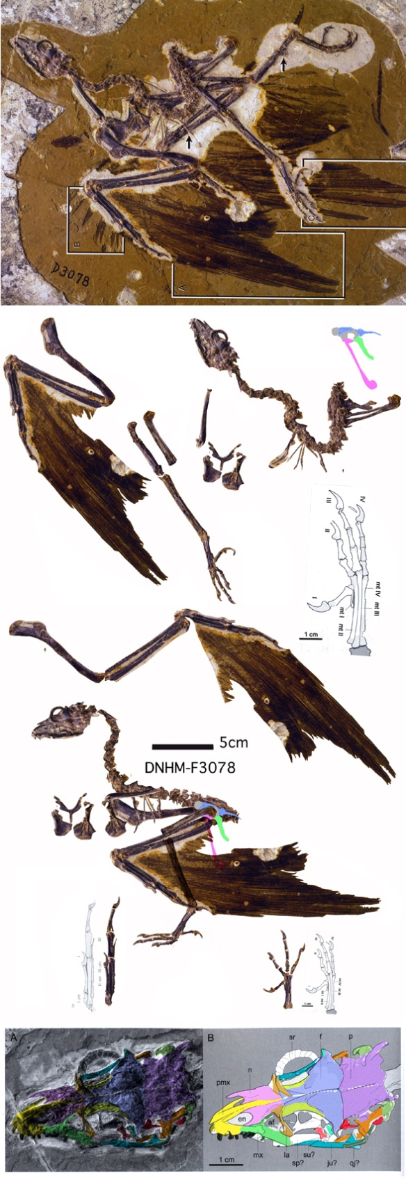 Figure 2. The DNHM specimen is wonderfully preserved. Note the incredible feathers! Here a little Photoshop digitally segregates the bones from each other and the matrix, then reassembles then in a lifelike pose.