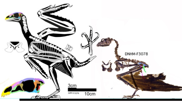 Two specimens attributed to Sapeornis, that nest together in the LRT. IVPPP V13276 is larger and more robust. DNHM-F3078 has a juvenile bone texture. Gao et al 2012 considered these two conspecific.