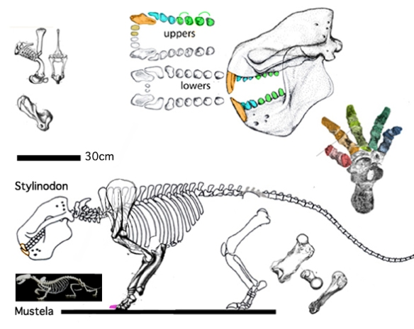 Figure 1. Stylinodon compared to Mustela, the European mink to scale.
