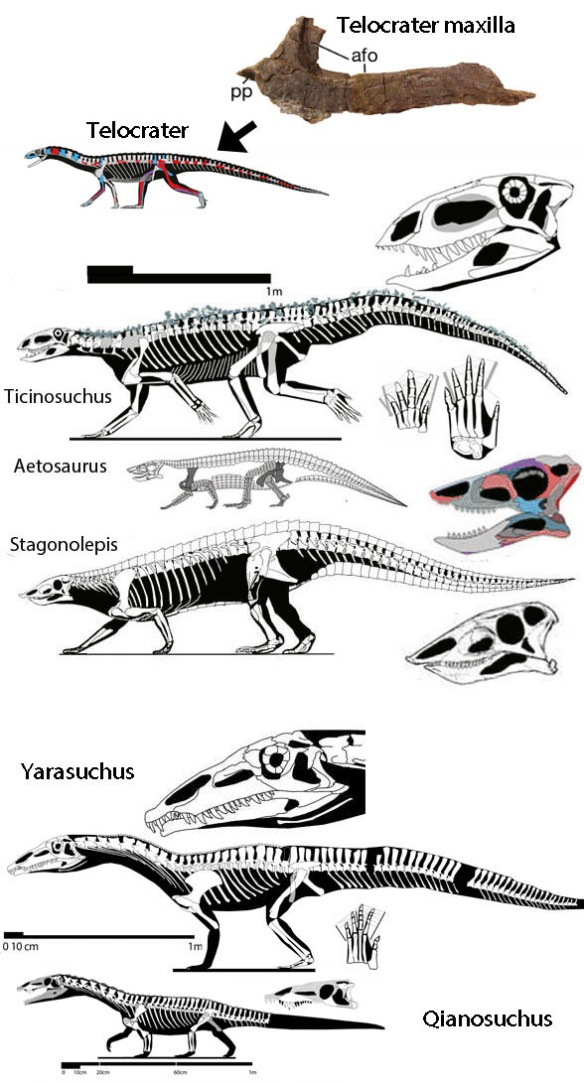 Figure 3. Telocrater to scale compared with likely sister taxa among the Ticinosuchidae in the LRT. Note the resemblance of the Telocerater maxilla to that of these sister taxa.