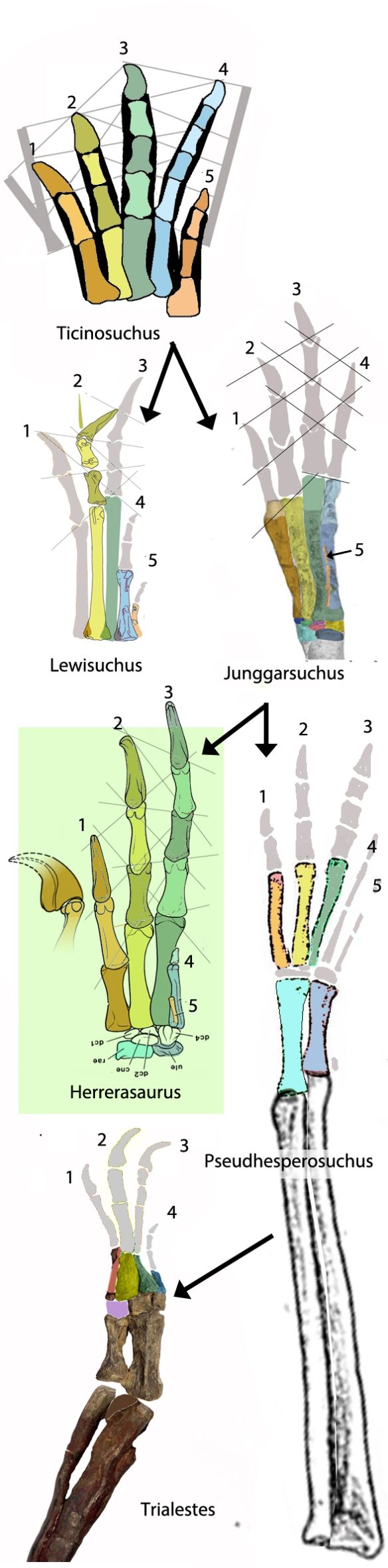 Figure 3. Hands of Lewisuchus, Herrerasaurus, Junggarsuchus, Pseudhesperosuchus and Trialestes. The proximal carpals (radiale and ulnare) were elongate by convergence with a line of crocodylomorphs. This has confused paleontologists and mentally removed them from possible ancestry to the Dinosauria. Note the very short proximal carpals in Junggarsuchus.