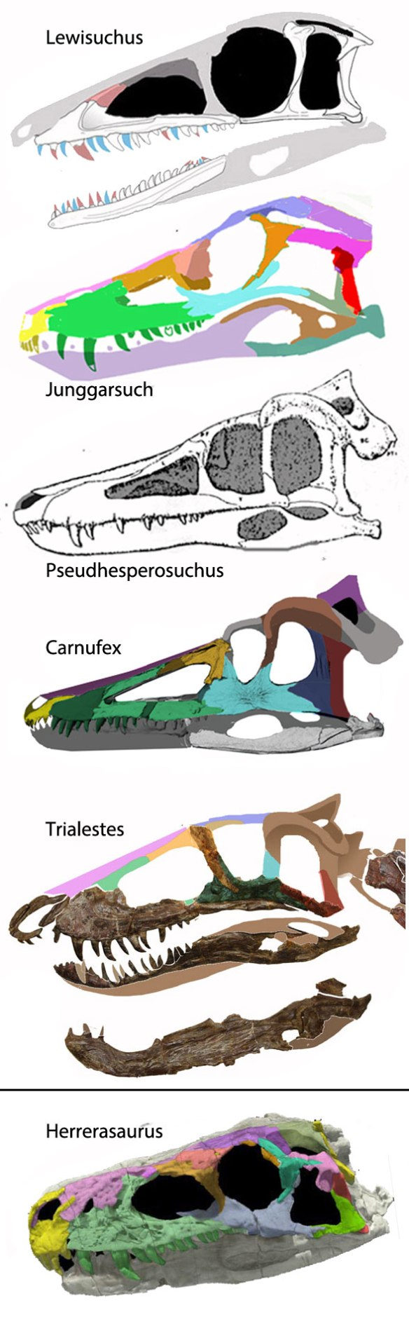 Figure 2. Skulls of the Junggarsuchus clade not to scale. Herrerasaurus is the basalmost dinosaur.