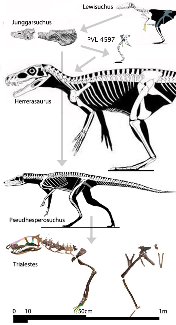 Figure 1. Members of the Junggarsuchus clade were derived from a sister to the basal crocodylomorph, Lewisuchus and produced one line that includes Pseudhesperosuchus and Trialestes. The other line produced dinosaurs. These taxa are shown to scale. Note the evolution from a bipedal configuration to a quadrupedal stance.