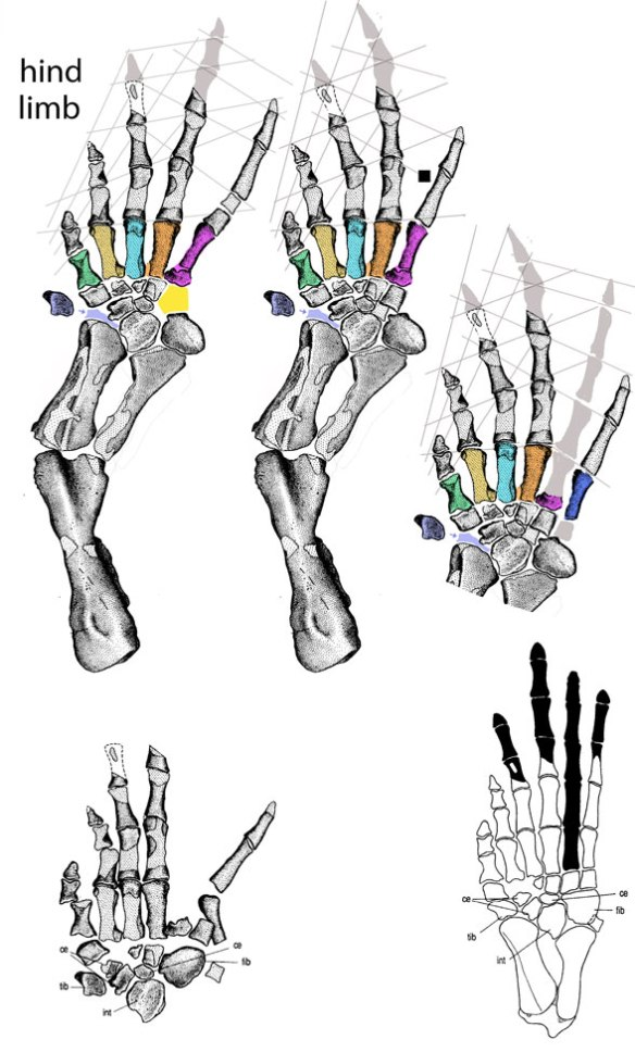 Figure 1. Tulerpeton pes reconstruction options using published images of the in situ fossil.