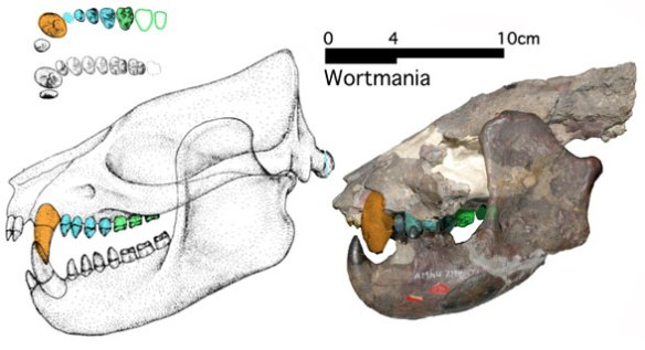 Figure 6. Wortmania as drawn freehand by Schoch compared to bones Photoshopped together.