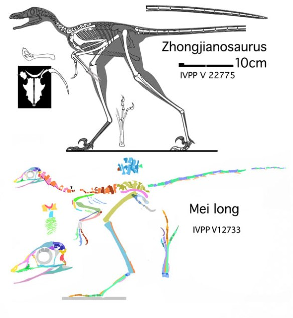 Figure 1. Zhongjianosaurus compared to Mei long, a scansoriopterygid bird.