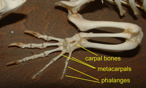 Figure 3. Alligator carpals.