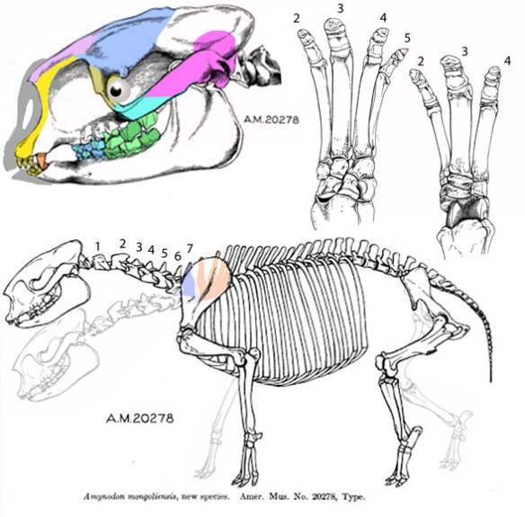 amynodon was formerly linked to metamynodon as a basal rhino but here