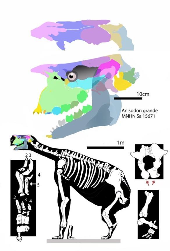 Figure 3Anisodon grande had longer forelimbs than hind limbs.