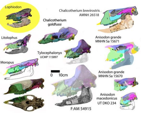 Figure. 2. Chalicothere skulls to scale. Lophiodon is an outgroup closer to tapirs.