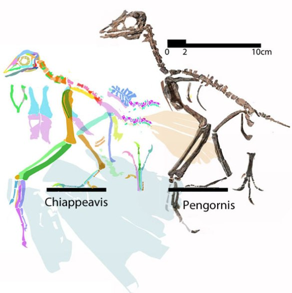 Figure 2. Chiappeavis with a shorter premaxillary ascending process and no metatarsal 5. Some small changes make big differences. Pengornis is shown to scale.