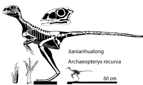 Figure 3. Jianianhualong and Archaeopteryx recurva to scale.