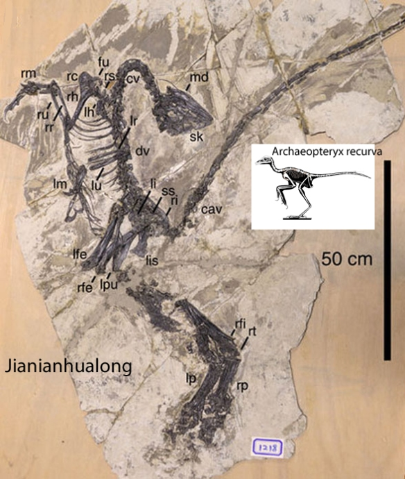 Figure 1. Jianianhualong tengi in situ. This is the largest among the early birds, a fact overlooked by the Xu et al. 2017. Think of Jianianhualong as a giant Archaeopteryx!