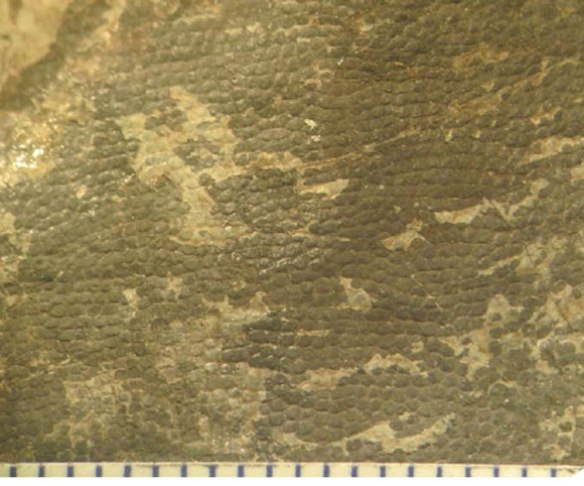 Figure 2. Liaoningosaurus ventral patch. Note the scales.