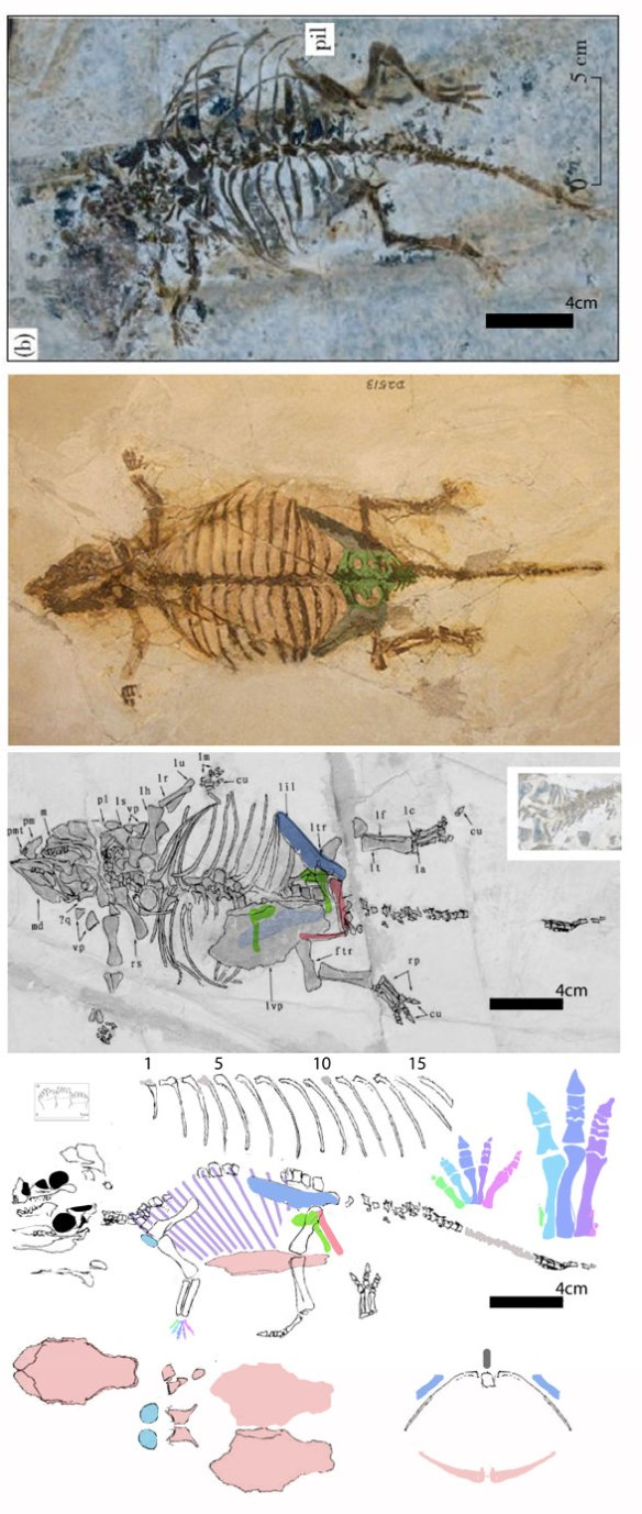 Figure 1. Several specimens of Liaoningosaurus crushed flat plus a lateral view based on original holotype tracings.