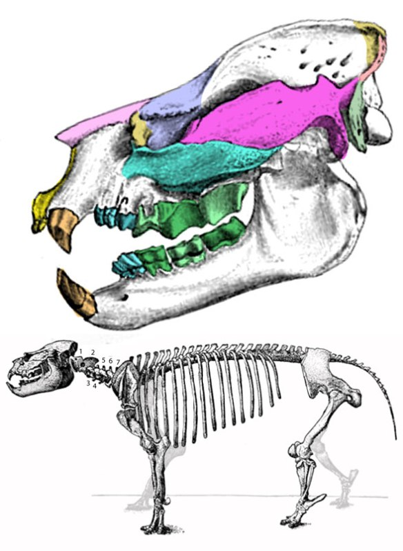 Figure 1. Metamynodon nests with Eotitanops. It had large fangs and a bulky body like a hippo.