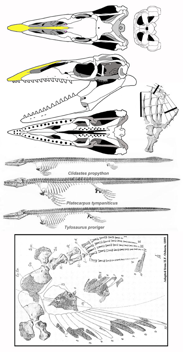Figure 2. Tylosaurus and other mosasaurs. Boxed:The shoulder girdle, left paddle and cartilaginous sternal cartilages of Tylosaurus in dorsal view. These broad ribs and sternum anchored powerful pectoral muscles to the front paddles.