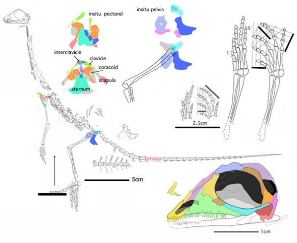 Figure 1. Pectodens reconstructed using the original tracings of the in situ fossil in Li et al. 2017.
