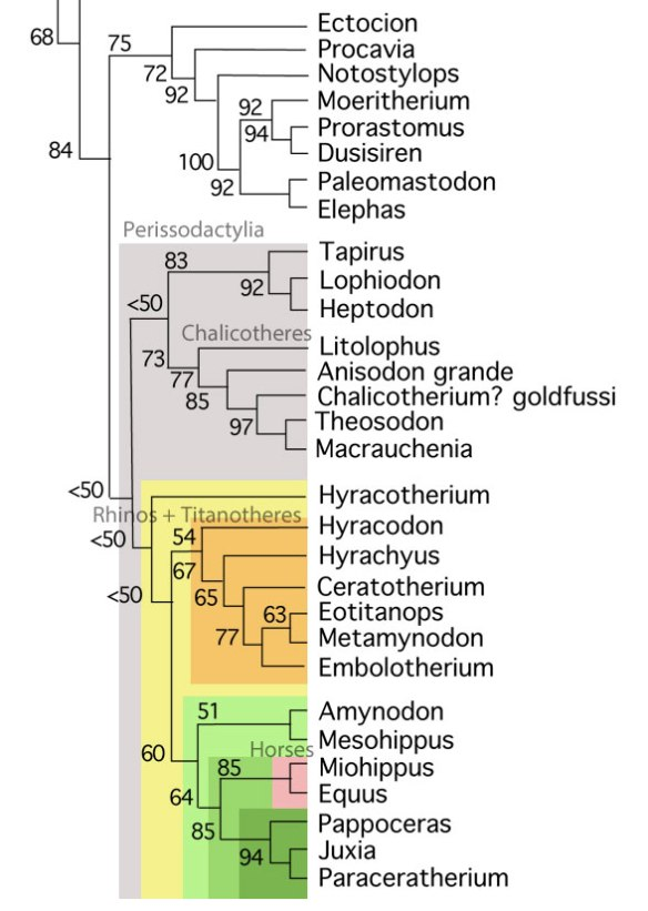 Figure 3. Subset of the LRT with the addition of Metamynodon and Amynodon, two former rhinos.