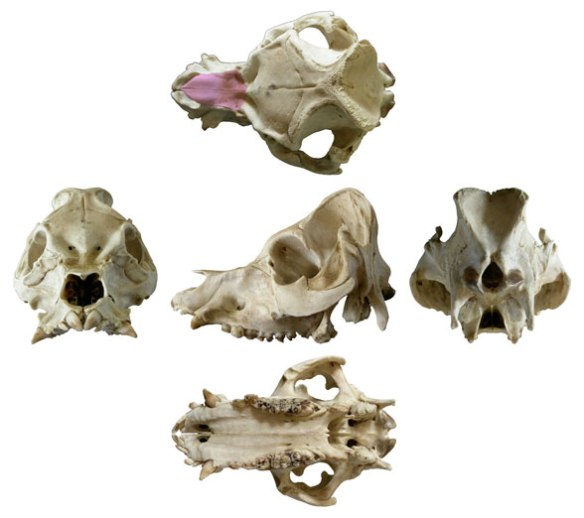 Figure 2. Skull of the extant pig, Sus in several views.