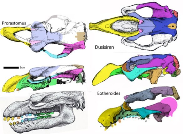 Figure 2. Sirenian skulls, including Dusisiren, Prorastomus, and Eotheroides.