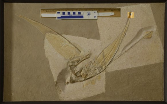 Figure 1. The Yale specimen of Rhamphorhynchus phyllurus with preserved wingtip ungual highlighted. See figure 2 for closeup.