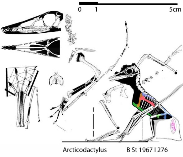 Figure 1. Articodactylus is evidently NOT the smallest pterosaur. That honor still goes to an unnamed specimen (not a Pterodactylus kochi juvenile) B St 1967 I 276.