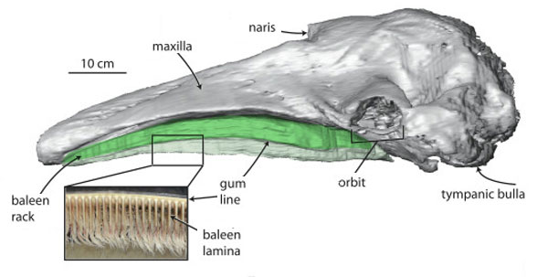 Figure 4. Baleen highlighted in this gray whale skull. Brighter green is below the gum line.